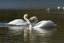 Free Swans In Love Stock Images - 31589404