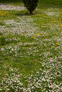 Free Daisies In Spring Garden Royalty Free Stock Photography - 31591437