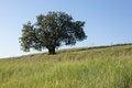 Free Solitary Tree On Hillside Stock Photo - 31592420