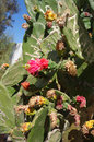 Free Cactus Flowers Royalty Free Stock Images - 31599239