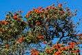 Free African Tulip Tree Stock Photo - 31599360
