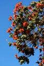 Free African Tulip Tree Royalty Free Stock Photos - 31599408