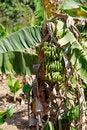 Free Banana Plantation Stock Photography - 31599552