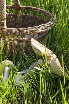 Basket With Mushrooms In The Grass Stock Photography