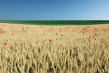 Wheat Field With Poppies. Stock Photos
