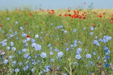 Free Wild Flowers In A Field Of Wheat Stock Photo - 31592650