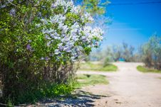 Free White Lilac Bush Stock Photos - 31593483