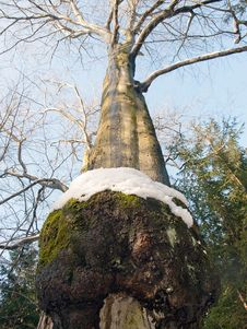 Free Older Mossy Tree Royalty Free Stock Images - 31594649