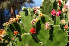 Free Cactus Flowers Stock Photo - 31599280