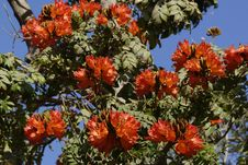 Free African Tulip Tree Royalty Free Stock Photo - 31599305