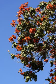Free African Tulip Tree Royalty Free Stock Photos - 31599408