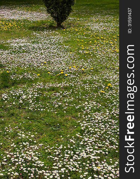 Daisies in spring garden