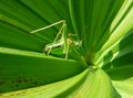 Free Green Leaves With Locust Royalty Free Stock Photos - 3162298