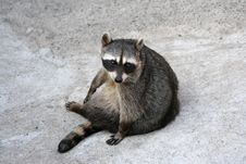 Free Raccoon Stock Images - 3161144