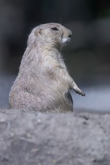 Free Prairie Dog Royalty Free Stock Photography - 3161347