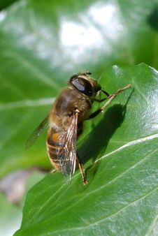 Free Honey Bee On Leaf Royalty Free Stock Photos - 3161428