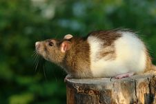 Free Mouse Looking Up Royalty Free Stock Photos - 3161858