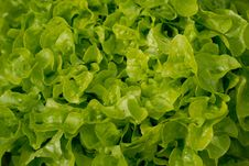 Free Butter Lettuce Salad Royalty Free Stock Photo - 3162425