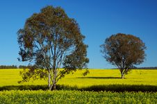 Free Trees On Canola Field Stock Photography - 3162722