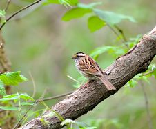 Free White-throated Sparrow Royalty Free Stock Image - 3162986