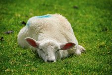 Free Lamb Resting Stock Image - 3163701