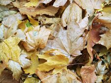 Free Leaves Royalty Free Stock Photos - 3163798