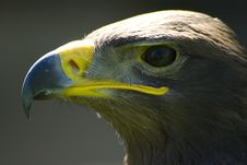Free Golden Eagle Portrait Closeup Royalty Free Stock Photos - 3164068