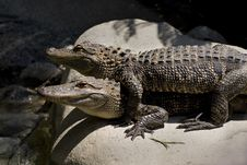 Free American Alligators Royalty Free Stock Images - 3164249