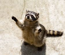 Free Raccoon Royalty Free Stock Images - 3164369
