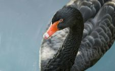 Free Black Swan Stock Photography - 3164392