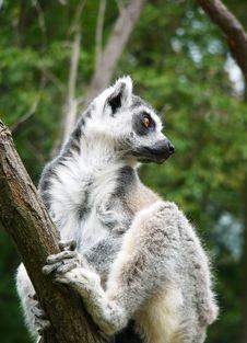 Free Lemur Royalty Free Stock Image - 3164636