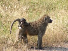 Free Baboons Stock Image - 3164921