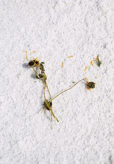 Free Salt Flats Sunflower Royalty Free Stock Photos - 3167008