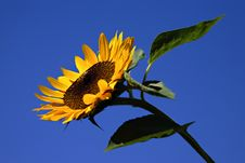 Free Vibrant Sunflower Stock Photography - 3169782