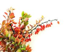 Free Berberys Branche Stock Image - 3169951