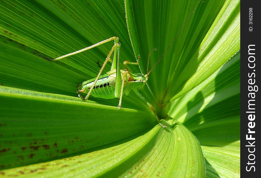 Green leaves with locust