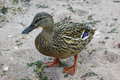 Free Duck Female Stock Photography - 31605542