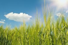Free Spring Grain With Blue Sky And Sunligt Royalty Free Stock Images - 31601509