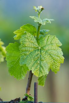 Free Grape Plant Stock Photography - 31603112