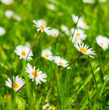 Free Spring Meadow With Golden Daisies. Royalty Free Stock Photo - 31603745
