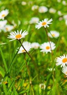 Free Spring Meadow With Golden Daisies. Stock Photography - 31603772