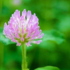 Beautiful Purple Flower Against The Green Blurred Background Royalty Free Stock Images