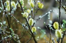 Free Willow Blossoming Royalty Free Stock Photos - 31605548