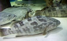 Napoleon Fish, Or Maori Wrasse &x28;lat. Cheilinus Undulatus&x29;. Stock Images
