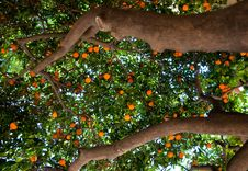 Free Mandarin Tree. Barcelona. Royalty Free Stock Photo - 31609925