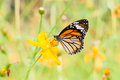 Free Monarch Butterfly Stock Image - 31611831