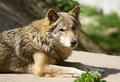 Free Grey Wolf Stock Photography - 31612672