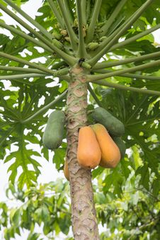 Free Papaya On Plant Royalty Free Stock Images - 31612539