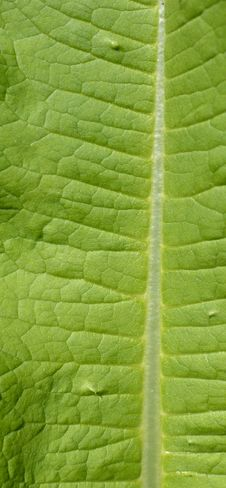 Free Green Leaf Macro View On Veins Stock Photos - 31613233