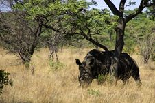 Free White Rhino In South Africa Royalty Free Stock Photography - 31614967